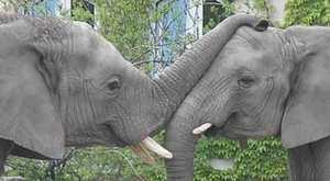 elephant_love
