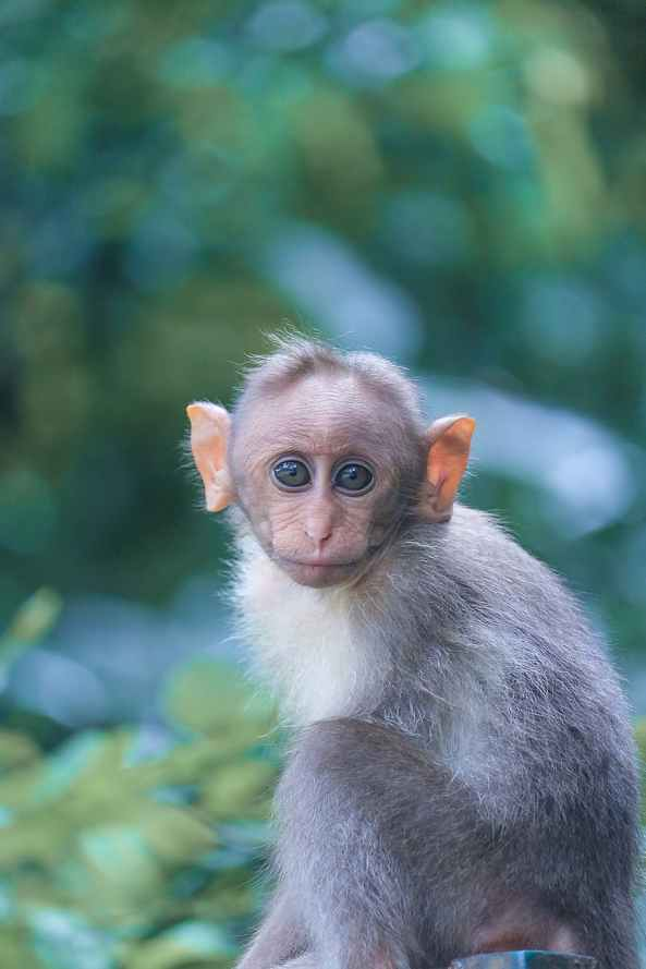 focus photography of gray monkey