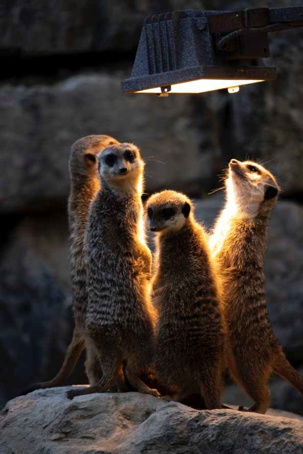 photo of meerkats looking at the light